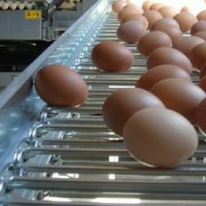 colector de huevos gallinas